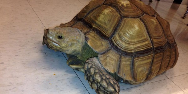 Crenshaws classroom turtle exploring the class.