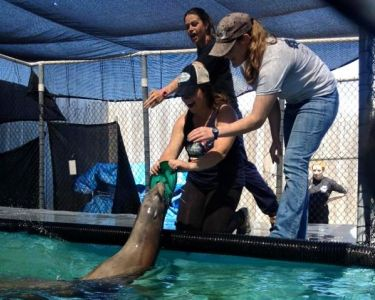 Brooke Morgan studying Marine Science at California State University with Sea Lions.
